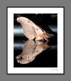 Moth, reflection after rain