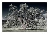 Solitary Oak-Jasper Ridge_031