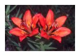 Western Wood Lily