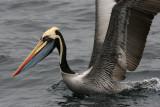 Chile birds