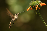 Oasis Hummingbird: female