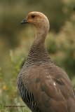 Upland Goose: female