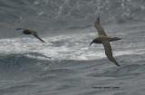 Sooty Albatrosses