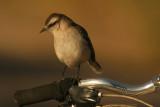Chalk-browed Mockingbird