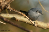 Masked Gnatcatcher