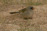 Great Pampas Finch