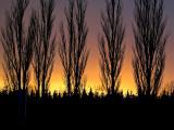 2007-02-07 Five trees