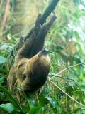 Choloepus didactylus - totået dovendyr