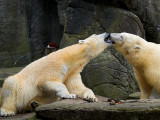 2007-04-09 Polar bears kissing