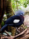 2007-04-23 Western crowned-pigeon
