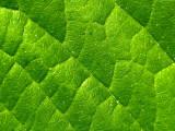 2007-05-02 Green leaf 2