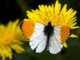 2007-05-20 Butterfly - Aurora