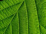 2007-05-23 Green Leaf 23