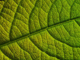 2007-05-31 Green leaf 31