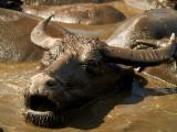 2007-07-23 Waterbuffalo