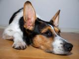 A lazy dog