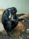 2007-09-24 Chimpanse