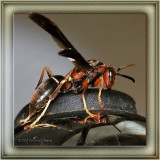 Paper Wasp - female