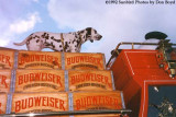1992 - Dalmation on top of the Budweiser beer wagon
