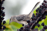 Mockingbird in umbrella tree photo #3833 (non-stock)