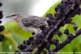 Mockingbird in umbrella tree photo #3834 (non-stock)