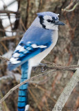 Blue Jay Out My Back Window
