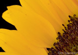 Sunflower 26-02-07