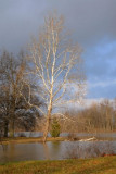 Sycamore tree in the sunshine