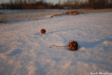 Sycamore Seeds Waiting for Spring