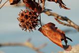 Seed pod on a tree