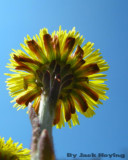 Coltsfoot from below