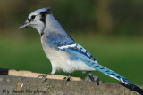 Blue Jay wondering where that clicking sound is coming from