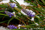 Snow on the Grape Hyacinth