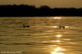 Ducks on Golden Pond