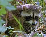 Baby Racoon trying to hide in the woods