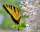 Swallowtail on Lilac Bush