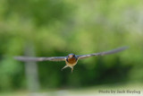 Incoming Swallow