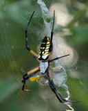 Black and Yellow Argiope - Argiope aurantia with lunch