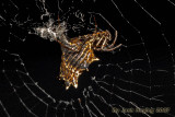 Micrathena Spider (night-time shot)