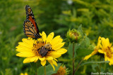 Bee and Monarch Butterfly sharing a flower