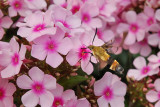 Snowberry Clearwing Hummingbird Moth 1