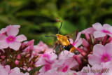 Snowberry Clearwing Hummingbird Moth 2