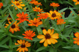 Profusion Orange Xenias at Wegerzan Garden Center