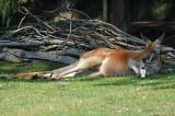 Laura's Kangaroo Relaxing
