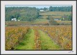 Vineyards in Bourgeuil_DS26526.jpg