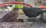 Blackbird and chick.jpg