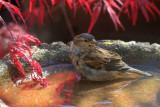 sparrow bath.JPG