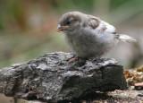 Sparrow chick 2.JPG