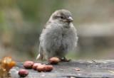 Sparrow chick.JPG