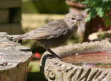 young starling 2.JPG